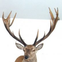 stag taxidermy