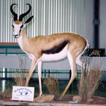 spring buck taxidermy