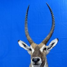 water buck taxidermy