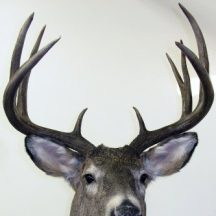 deer taxidermy