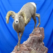 North American Lifesize desert bighorn fix