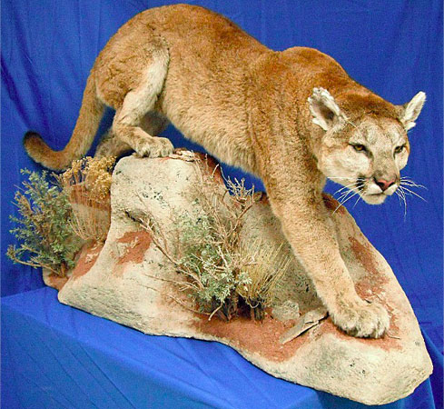 North American Life Size Taxidermy